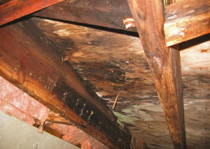 Extensive crawl space rot damage growing in Rangely