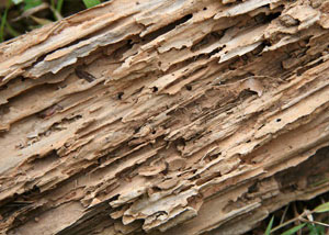 Termite-damaged wood showing rotting galleries outside of a Basalt home
